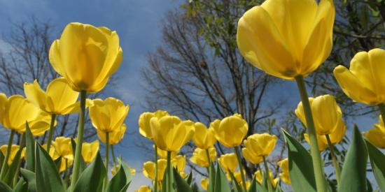 Photograph of yellow tulips